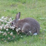 Rabbit enjoying grass