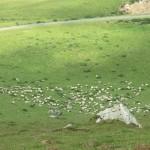 Manech sheep
