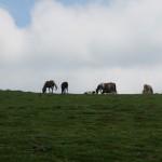 Pyreneean chamois